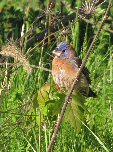 Blue Grosbeak (First Spring Male) at Ewing Park in Bloomington, IL 11 | by murphbirder