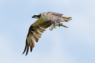 Osprey and catch | by Alex_JoshP