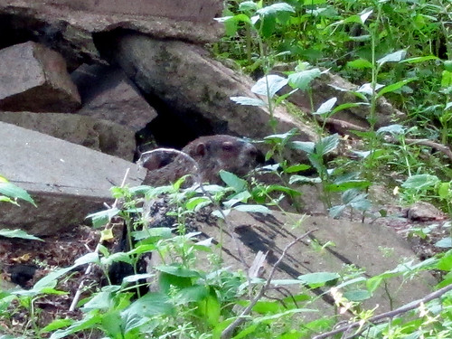 Groundhog peeking out 5-12-12 (edits) 07 | by anothertom
