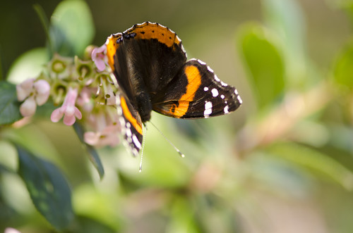 Red Admiral | by Natalie Bell