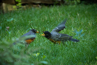 Feed me!!  American Robin chick being fed (Tardus migratorius_) 3182 | by Dr DAD (Daniel A D'Auria MD)