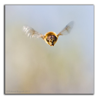 Hoverfly flying in flight head on | by Roland Bogush