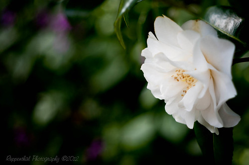 Camellia | by R J Ruppenthal
