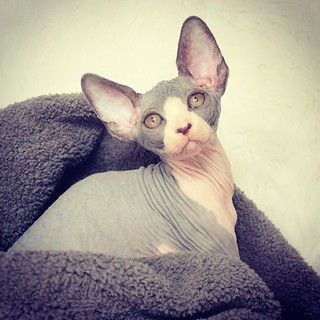 My new baby Starr coming to me on July 13! | by Simply Sphynx Cats