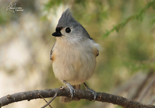 Titmouse on Pine | by Tami Hrycak ッ