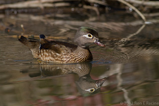 Female Wood Duck | by rracine1