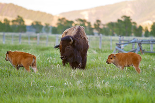"Twin bison calves watched over by their mother | by IronRodArt - Royce Bair (""Star Shooter"")"