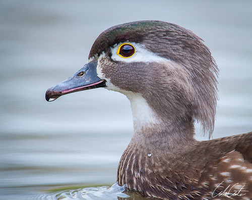 Female Woodduck Portrait | by TheApertureMan