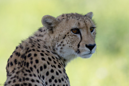 Cheetah | by gerdavs