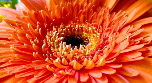 Gerbera | by Claude@Munich