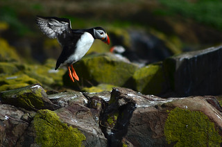 puffin | by Seb - Smith