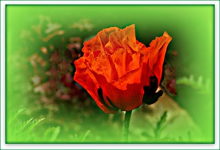 IMG_0791  Poppy | by Martina Morris ( Ireland) Thanks for your visit