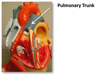pulmonary trunk - the anatomy of the heart visual atlas, p… | flickr, Human Body