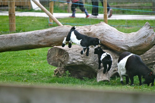 Tiny cute black and white baby pygmy goats playing on a lo ...