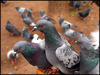Pigeons | by Rich from Hamilton