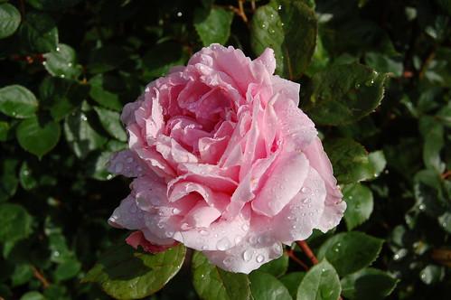 brother cadfael englische rose hie flickr. Black Bedroom Furniture Sets. Home Design Ideas