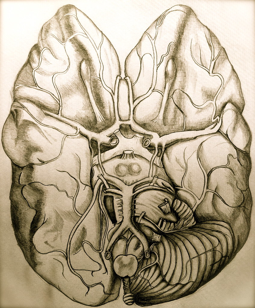 Brain Anatomy Drawing My Work Adapted From Grays Anatomy Flickr