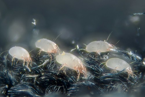 House dust mites | by Gilles San Martin
