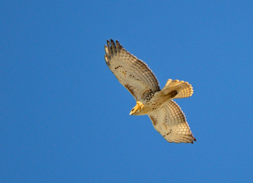Red-tailed Hawk In Flight | by Brian E Kushner