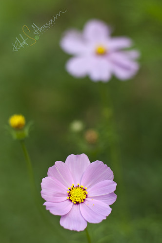 Cosmos | by Rifat Shakhawat Hossain