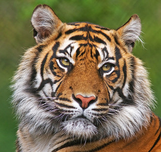 Portrait of a tiger | by wcoyle