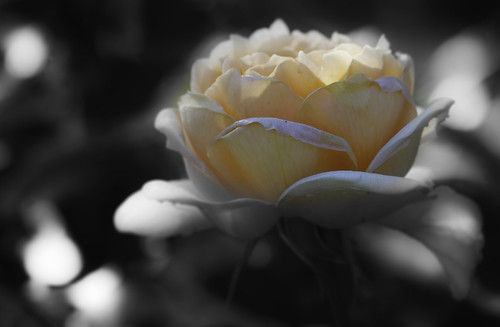 Apricot Rose | by kyte50