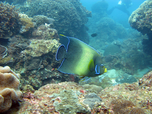 Semicircle Angelfish | by dncmrc