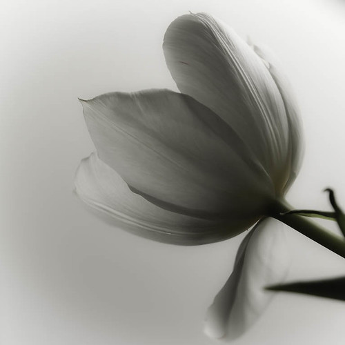 'White' A WhiteTulip | by kentishmayde