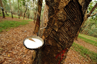 Rubber Tree Tap | by goingslowly