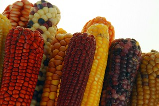 Maize diversity | by CIMMYT