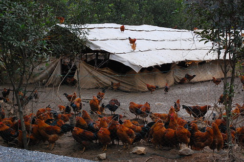 how to stop chickens from flying over the fence