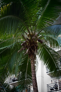 Indoor coconut tree | by Dickie Brooks