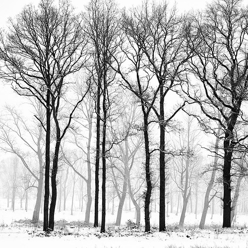 Winter trees fog cold snow and trees a wonderful for Black and white tree wallpaper mural