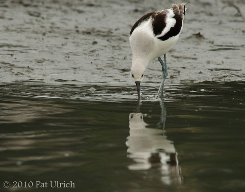 Avocet, reflected | by Pat Ulrich