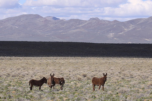 Wild burros---Nevada | by calljohn3