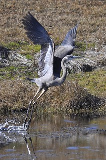Flying blue heron | by Fearon-Wood Photography