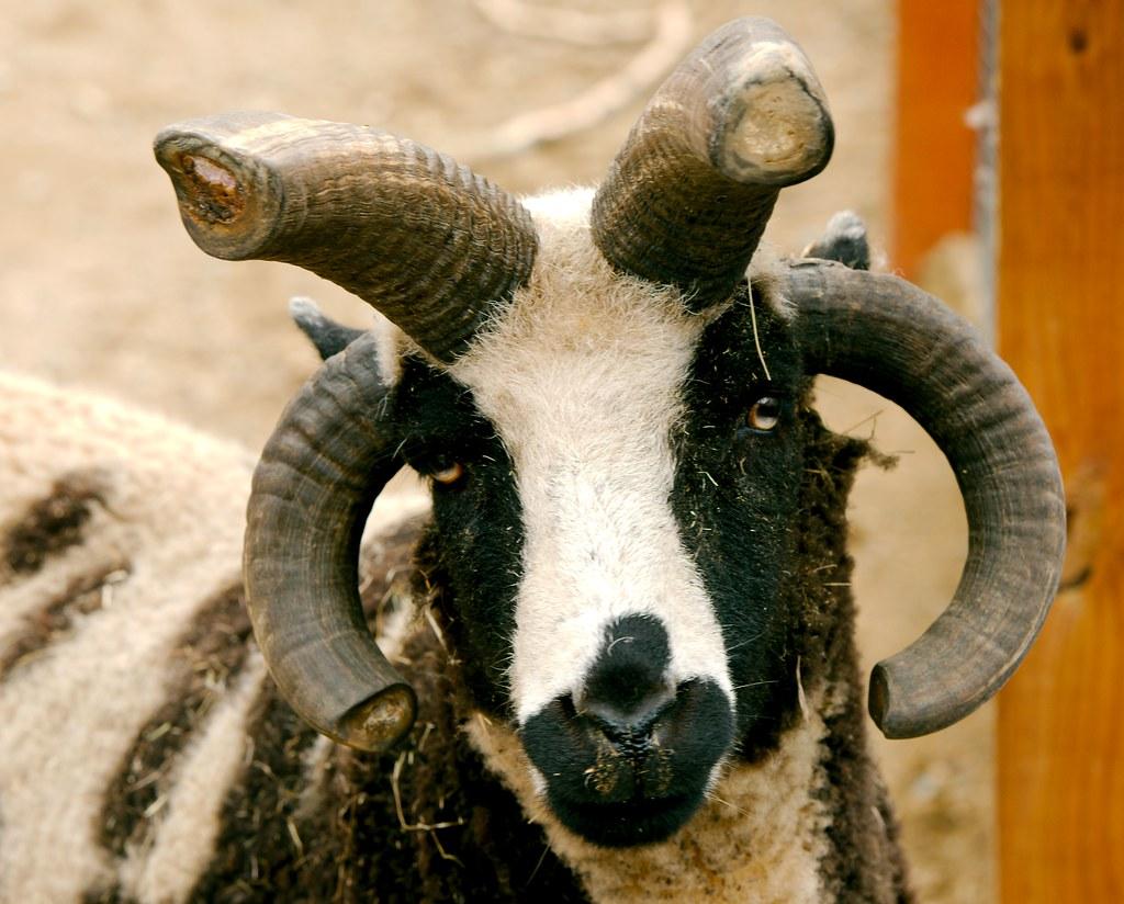 Sheep_2