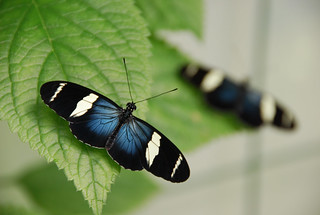 Sara Longwing Butterfly Blue Black.JPG | by The Dagger