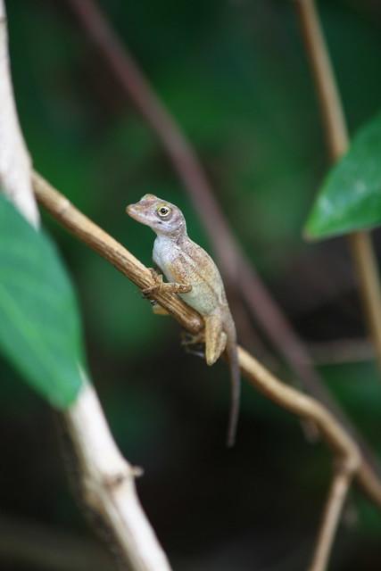 twig lizard