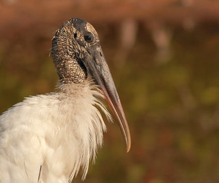 portrait of a wood stork | by p simmons
