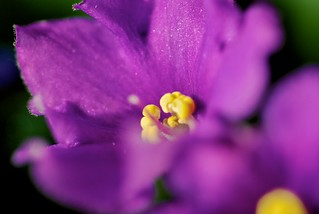 African violet | by arjang10