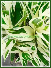 Mesmerising foliage of Maranta arundinacea 'Variegata'(Arrowroot, Obedience Plant 'Variegata'), 22 Sept. 2016