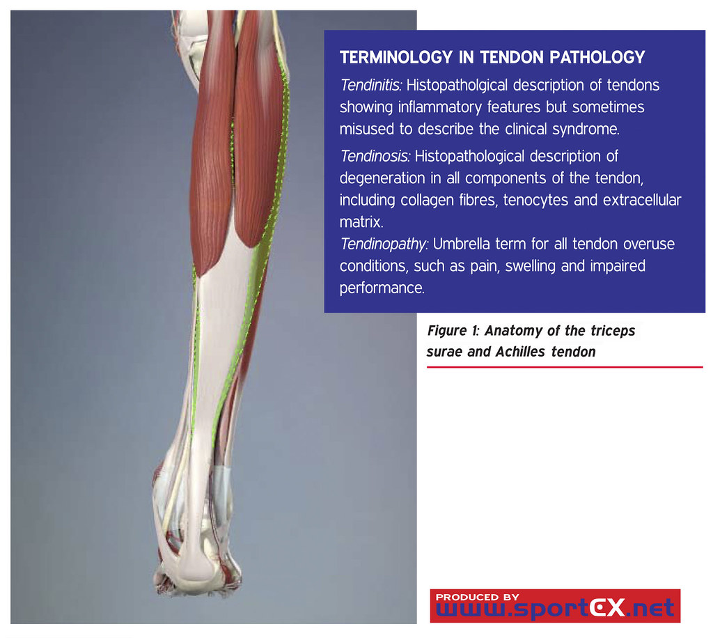 Anatomy Of The Triceps Surae And Achilles Tendon Sportex M Flickr