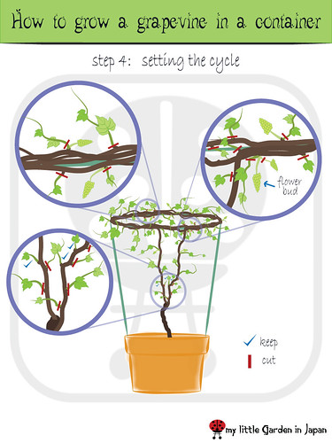 How-to-grow-a-grapevine-in-a-container-5 | by delcasmx