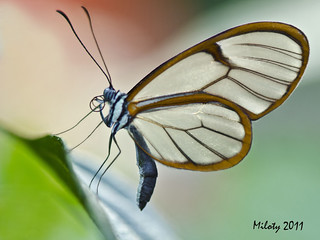 GRETA OTO aux ailes presque transparentes (GlassWing Butterfly) | by Miloty