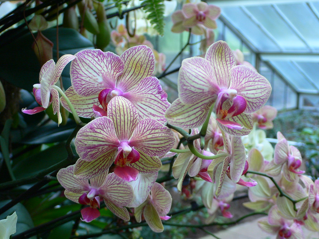 Orchid festival, Princess of Wales Conservatory, Kew Gardens