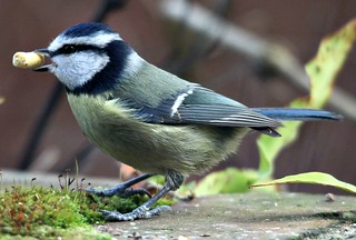 Blue Tit ( Parus caeruleus ) in our garden | by In Memory of ColGould
