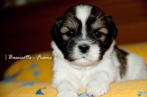 Caramel - 3 Weeks Old | by Bassisette
