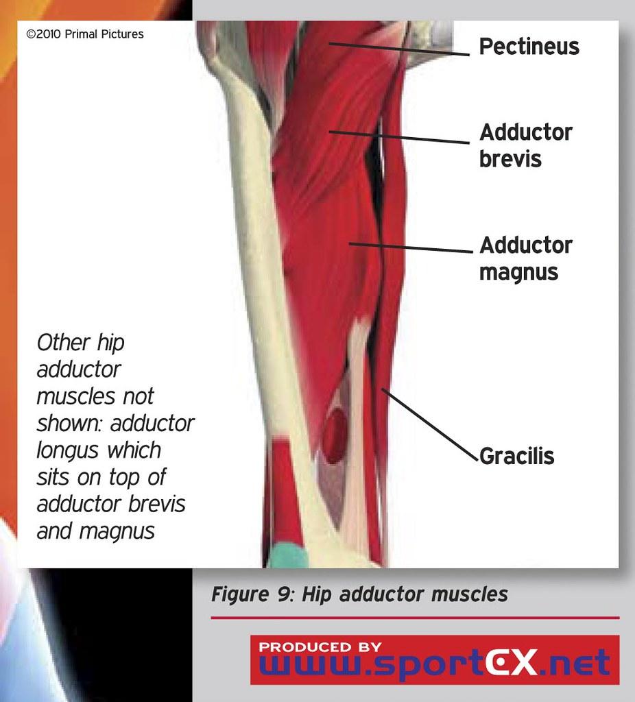 Hip adductor muscles | sportEX medicine 2011;47(Jan):7-11 | sportEX ...