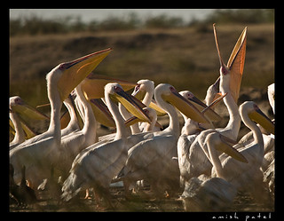 pelicans | by amish_patel